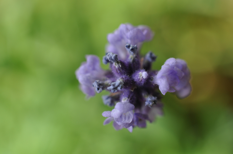 57.1.Lavendel.2.DSC_0314