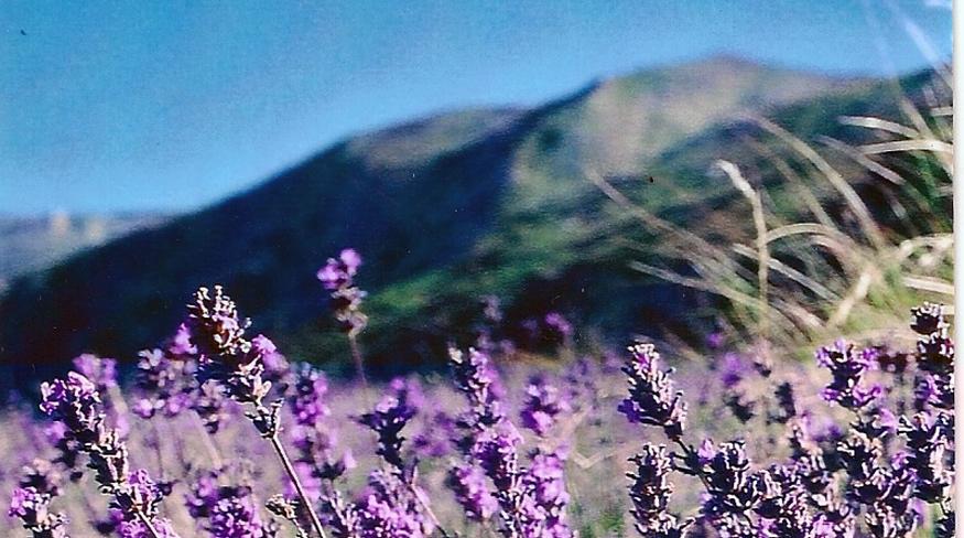 07-lavendel-2-2-bild