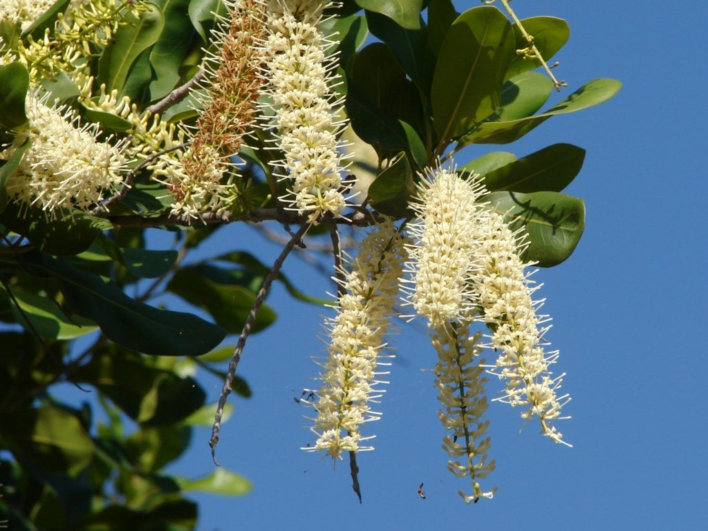 Flowering_Macadamia